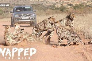 Báo săn cái bị 4 con đực bao vây 'đánh hội đồng'