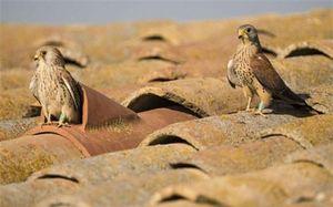 Ảnh đẹp: Chim cắt 'tán' nhau trên mái nhà