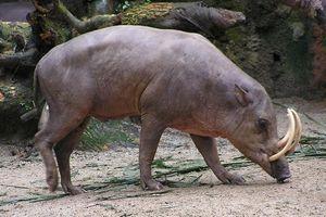 Loài lợn không có lông, kỳ lạ nhất trong thế giới hoang dã