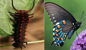 Bất ngờ màn 'dậy thì thành công' của 10 loài bướm đẹp nhất Thế giới