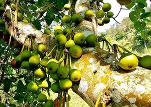 Ngọt mát quả vả rừng