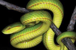 Phát hiện loài rắn mới trùng tên với pháp sư nổi tiếng trong Harry Potter