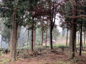 Người trồng pơmu trên núi Au Tiên