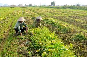 Gia Viễn: Nông dân mất mùa dưa bở