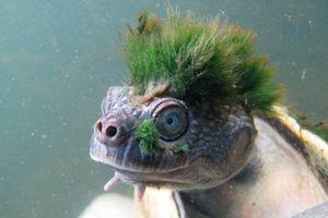 Sự thật đau lòng về chú 'rùa tóc xanh'