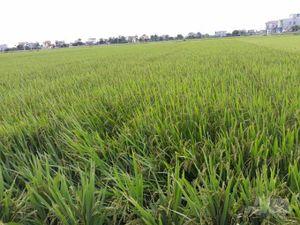Nam Định bảo vệ tốt lúa xuân cuối vụ