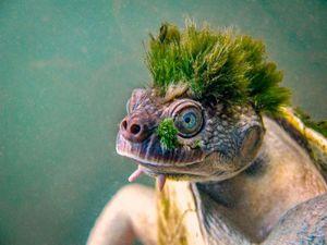 Chú rùa có chỏm tóc xanh lạ và sự thật đau lòng phía sau