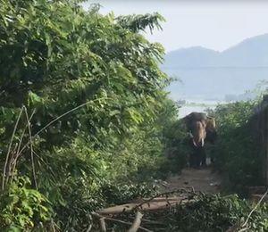 Hàng chục người vật vã khống chế con voi quật chết người ở Tây Nguyên