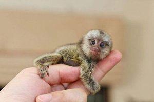 Bí ẩn bất ngờ về loài khỉ không phải ai cũng rõ