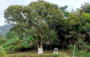 Độc đáo cây dẻ cổ thụ hơn 120 năm tuổi