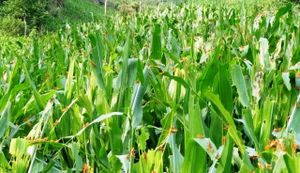 Hàng triệu con châu chấu lưng vàng đang tàn phá hoa màu ở Mường Lát, Thanh Hóa