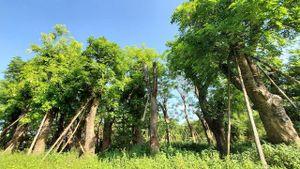 80% cây xanh đánh chuyển từ đường Kim Mã vẫn xanh tốt