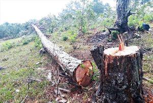Hàng trăm cây thông cổ thụ bị chặt tại Lang Biang