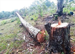 Phá rừng ở khu dự trữ sinh quyển thế giới Lang Biang