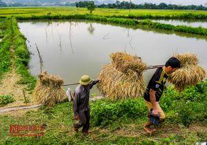 Hòa Bình: Người dân hối hả thu hoạch vụ chiêm dưới trời nóng cao điểm