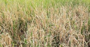 Thái Nguyên: Nhiều diện tích lúa nhiễm sâu bệnh