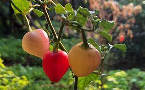 Những trái ớt… sơ ri lung linh sắc màu