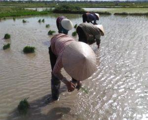 Nhọc nhằn nghề cấy lúa thuê