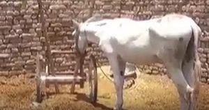 Pakistan: một chú lừa bị tống giam vì tội danh 'cờ bạc bất hợp pháp'