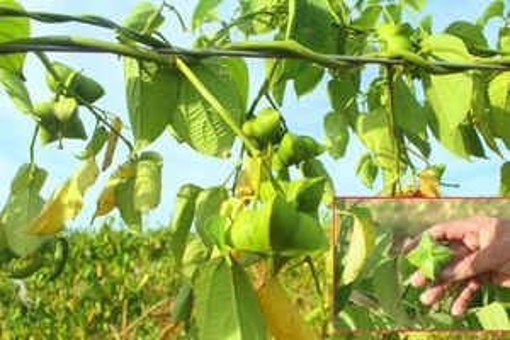 Nông dân Nghệ An đầu tiên trồng Sachi cây 'vua của các loài hạt'
