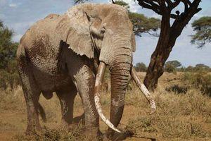 Chú voi siêu ngà cuối cùng của Kenya chết ở tuổi 50