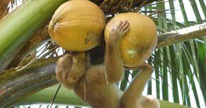 Chính phủ Thái Lan nói 'không có chuyện bắt khỉ hái dừa'