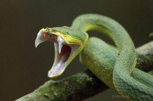 Người đàn ông bị rắn độc cắn vào lưỡi trong tiệc từ giã độc thân