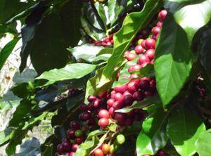 Giá nông sản hôm nay 10/7: Cà phê tăng nhẹ, tiêu giảm tiếp