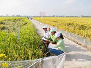 Sản xuất lúa giống theo mô hình công nghệ sinh học
