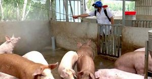 Bạc Liêu: Xuất hiện 2 ổ dịch tả lợn Châu Phi sau 4 tháng