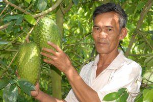 Mãng cầu xiêm, cây làm giàu cho nông dân Hậu Giang