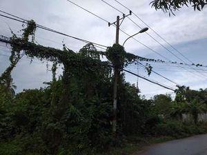 Nguy hiểm dây leo trùm đường dây tải điện