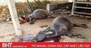 8 con trâu ở huyện miền núi Hà Tĩnh bị điện giật chết