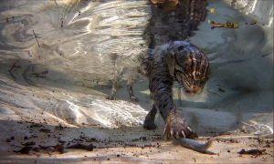 Những cuộc săn lùng cá dưới nước của loài mèo hoang dã thích bơi lặn