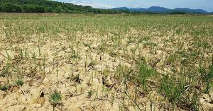 Nắng hạn kéo dài, 'cánh đồng lũ' ở Hương Khê biến thành 'sa mạc'