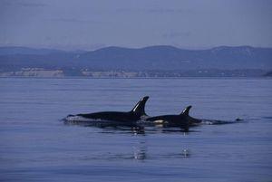 Cá voi sát thủ cản trở hải quân Mỹ thử nghiệm vũ khí siêu vượt âm