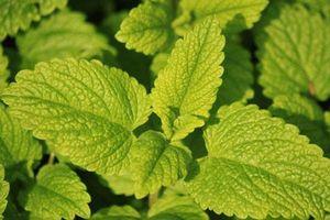 Từ điều trị mất ngủ đến ngăn ngừa ung thư, lá tía tô đất là thảo dược cực kỳ tốt cho sức khỏe