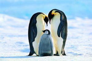 Đàn chim cánh cụt hoàng đế mới được phát hiện qua ảnh chụp từ vũ trụ