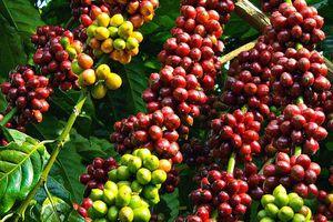 Giá cà phê tuần 3/8 - 9/8: Tăng nhẹ 100 - 200 đồng/kg, nhiều tin vui từ thị trường thế giới