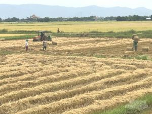Lúa mùa Bình Định đủ nước tưới