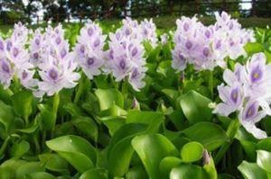 Loài cây 'cho không ai lấy' ở Việt Nam được bán với giá 'chát' ở nước ngoài, có nhiều lợi ích với sức khỏe