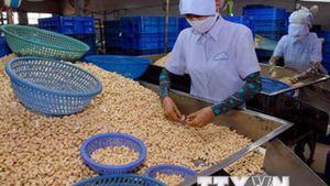 Xuất khẩu điều Việt Nam đạt trên 1,5 tỷ USD