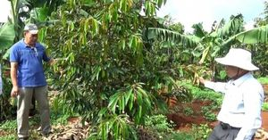 Độc đáo trồng sầu riêng xen chuối
