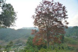 Lào Cai: Mạy Coong, cây nông vụ của người Tày Bắc Hà