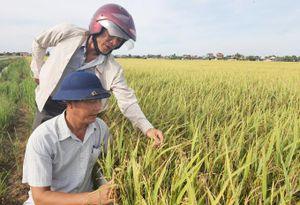 'Tranh cãi' lúa tái sinh ở Quảng Bình