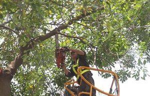 Hà Nội: Tăng cường cắt tỉa, thay thế cây sâu mục