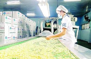 Doanh nghiệp xuất khẩu 'thoi thóp' khi giá điều liên tục giảm