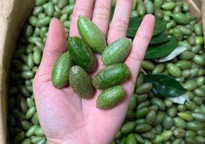 TP Hồ Chí Minh: Nhót bao tử Đà Lạt hơn nửa triệu một kg vẫn hút người tiêu dùng