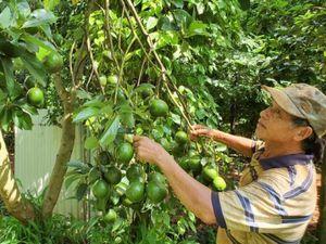 Những vườn cây trái hữu cơ thu bạc tỷ ở Tây Nguyên