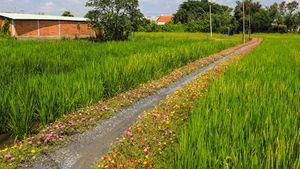 Đường hoa mười giờ dài hơn 100m giữa đồng lúa ở TP.HCM